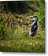Black-crowned Night Heron At Carson Lake Wetlands Metal Print