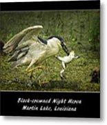 Black-crowned Night Heron At Martin Lake Metal Print