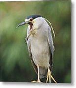 Black-crowned Night Heron Calling Metal Print
