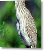 Black-crowned Night Heron Juvenile Metal Print