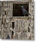 Black Crows At The Old Barn Metal Print