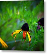 Black Eye Susans Metal Print