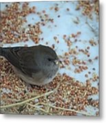 Black Eyed Junco Metal Print