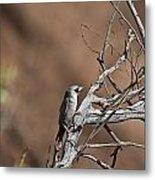 Black-faced Cuckoo Shrike Metal Print