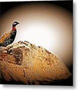 Black Francolin Metal Print