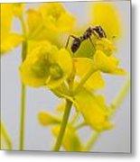 Black Garden Ant On Yellow Flower Metal Print