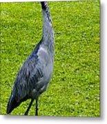 Black Headed Heron Metal Print