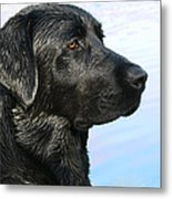 Black Labrador Retriever After The Swim Metal Print