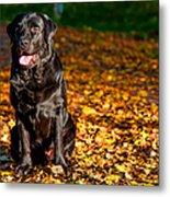 Black Labrador Retriever In Autumn Forest Metal Print