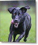 Black Labrador Running Metal Print