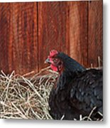 Black Laying Hen On Nest Art Prints Metal Print