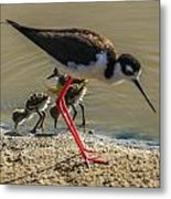 Black Neck Stilt And Babies Metal Print