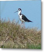 Black-necked Stilt Metal Print