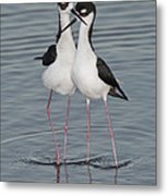 Black-necked Stilts Metal Print