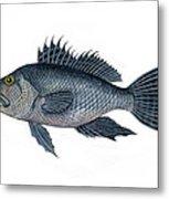 Black Sea Bass 3 Metal Print
