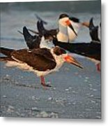 Black Skimmer Metal Print