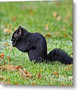 Black Squirrel Metal Print