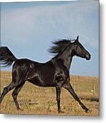 Black Stallion Metal Print