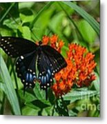 Black Swallow Tail On Beautiful Orange Wildlflower Metal Print