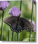 Black Swallowtail On Chives Metal Print