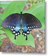 Black Swallowtail On Tulip Poplar Metal Print