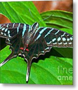 Black Swordtail Butterfly Metal Print