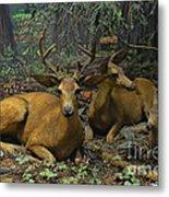 Black Tail Deer Metal Print