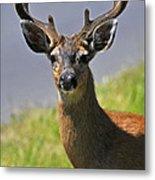 Black Tailed Deer Metal Print