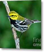 Black-throated Green Warbler, Male Metal Print
