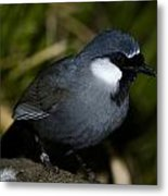 Black-throated Laughing Thrush Metal Print by Gerald Murray Photography