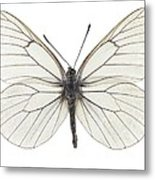 Black-veined White Butterfly Metal Print