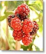 Blackberries Ripening Metal Print