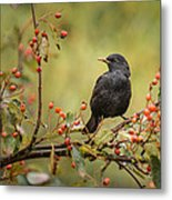 Blackbird On Branch Metal Print