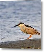 Blackcrowned Night Heron Metal Print