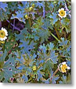 White Wooly Daisies On Borrego Palm Canyon Trail In Anza-borrego Desert State Park-ca Metal Print