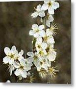Blackthorn Or Sloe Blossom  Prunus Spinosa Metal Print