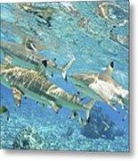 Blacktip Reef Shark Metal Print
