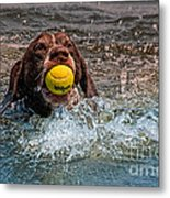 Blaze Retrieving Wilson 3 Metal Print
