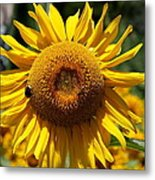 Blazing Yellow Sunflower Metal Print