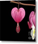 Bleeding Heart Flowers Showing Blooming Stages  Metal Print