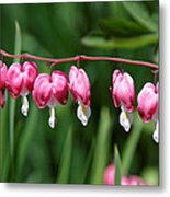 Bleeding Hearts All In A Row Metal Print