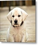 Blond Lab Pup Metal Print