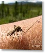 Blood Thirsty Mosquito On Human Arm Metal Print