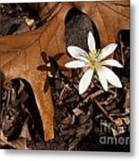 Bloodroot On Forest Floor - Pennsylvania Metal Print