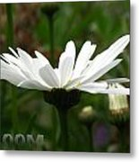 Bloom White Daisy Metal Print