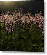 Blooming Almond Trees Metal Print