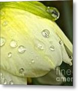Blooming Daffodil With Raindrops Metal Print