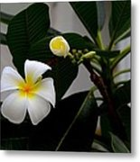 Blooming Frangipani Flower Alongside Bud Metal Print
