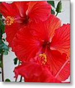 Blooming Hibiscus Metal Print