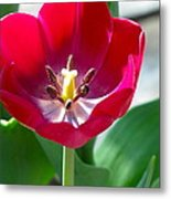 Blooming Red Tulip Metal Print